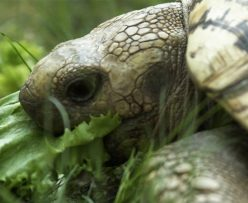 leopard tortoise eating grass