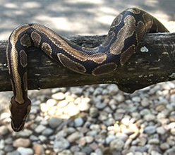 ball python on a branch